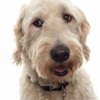 Christopher Elliott's Labradoodle guide dog Harry. Photograph by Martin Neeves Photography - www.martinneeves.com - Tel: 01455 271849 / 07973 638591 - E-mail: mail@martinneeves.com