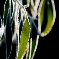 Frosted eucalyptus leaves. Photograph by Martin Neeves Photography - www.martinneeves.com - Tel: 01455 271849 / 07973 638591 - E-mail: mail@martinneeves.com